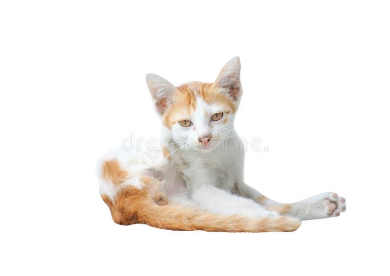 Портрет молодого белого и коричневого кота меха сидя и смотря изолированная камера на белой предпосылке стоковые изображения