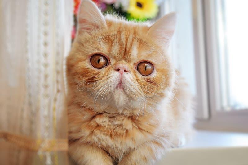 Портрет молодого кота породы острые ощущения-искатель красного цвета стоковое изображение rf