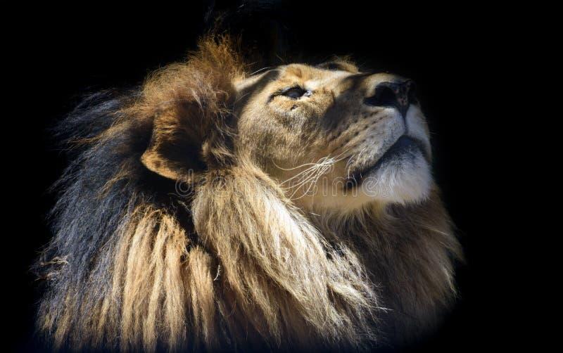 Портрет молодого мужского льва стоковые изображения