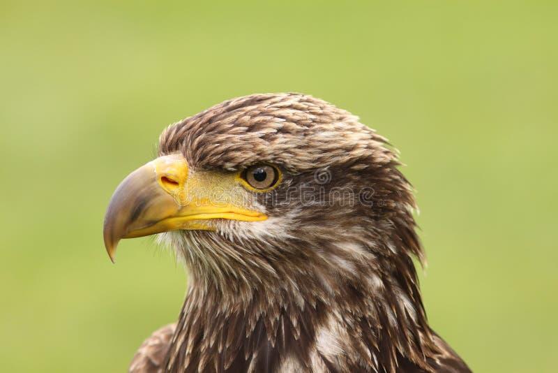 Портрет молодого облыселого орла стоковая фотография rf
