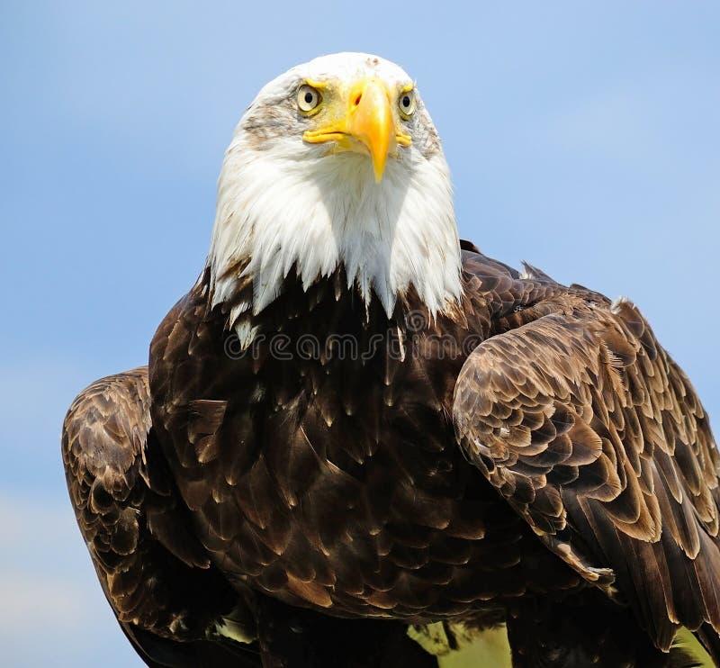 Портрет молодого орла стоковые фотографии rf