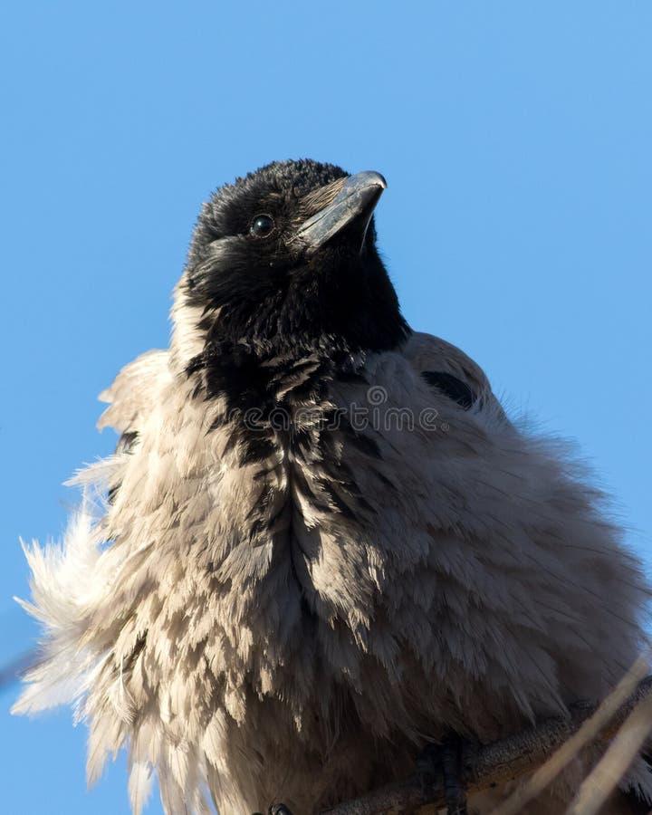 Портрет молодой вороны биографической стоковые изображения rf