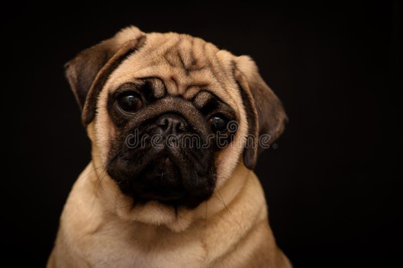 Портрет мопса на черной предпосылке стоковое фото rf