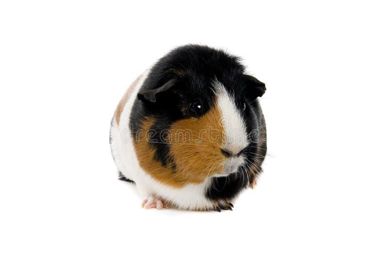 Портрет морской свинки стоковые фото