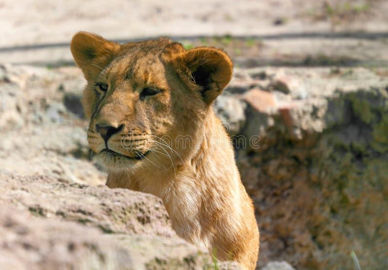 Портрет молодого крупного плана львицы стоковые изображения