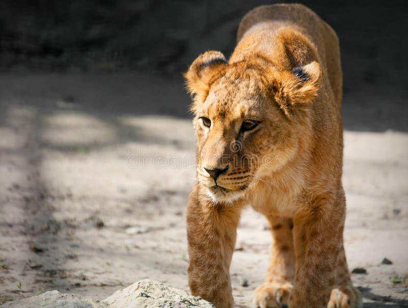 Портрет молодой львицы на природе стоковое изображение rf