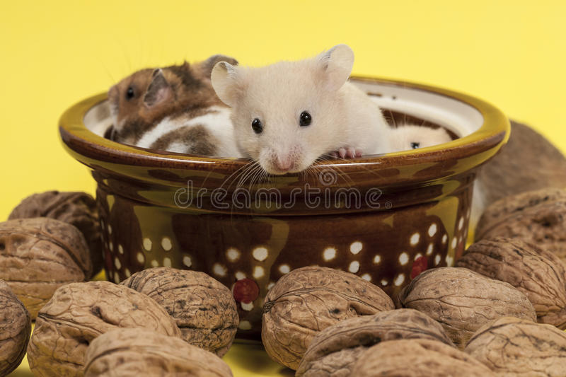 Портрет молодых хомяка и грецких орехов. стоковые изображения