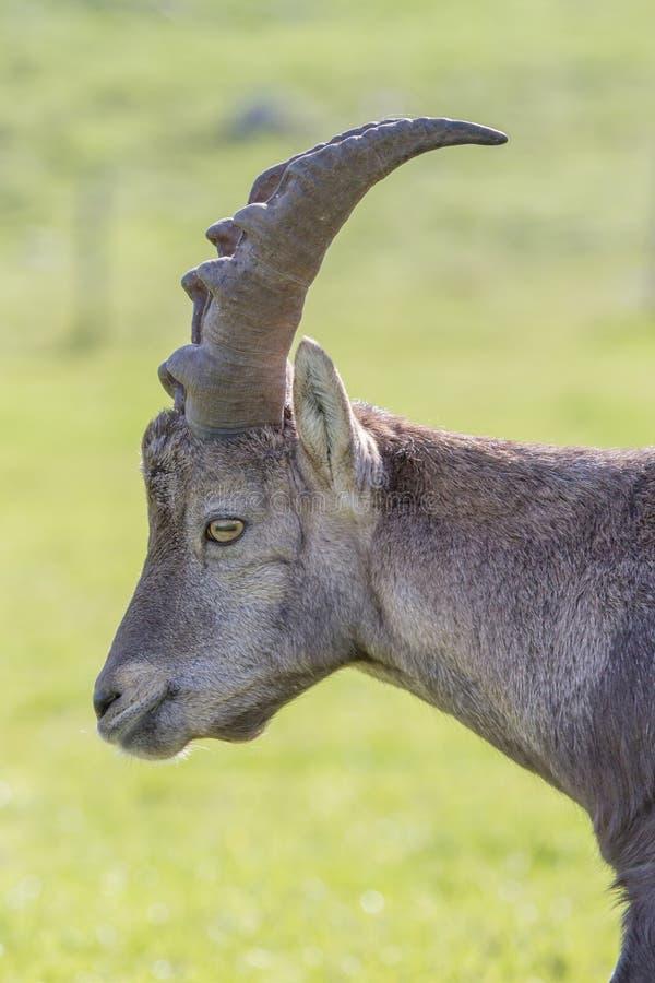 Портрет мужского высокогорного Ibex стоковые фото