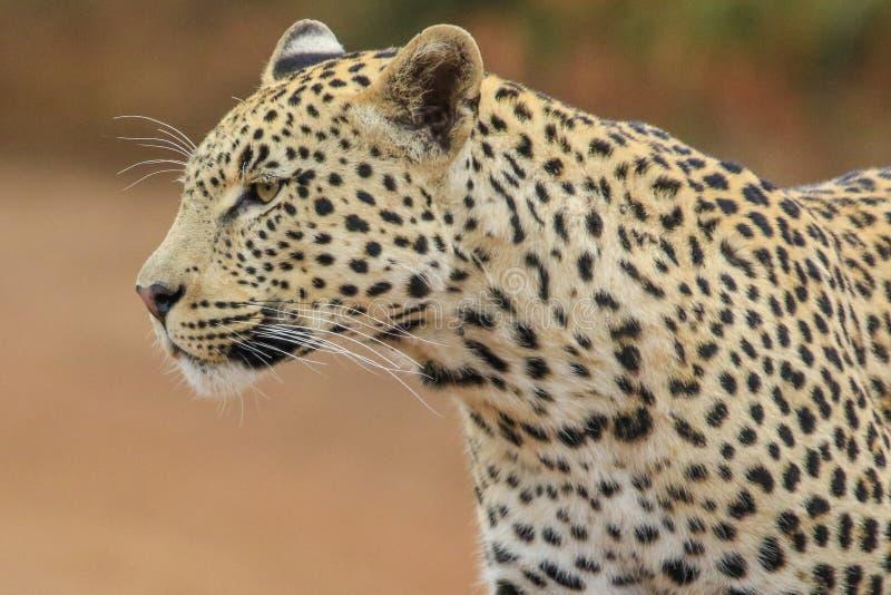 Портрет мужского леопарда стоковое изображение