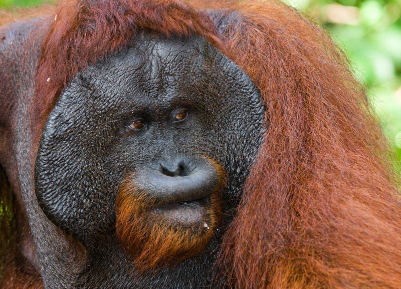 Портрет мужского орангутана Конец-вверх Индонезия Остров Kalimantan & x28; Borneo& x29; стоковое изображение rf