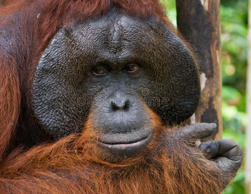 Портрет мужского орангутана Конец-вверх Индонезия Остров Kalimantan & x28; Borneo& x29; стоковые изображения rf
