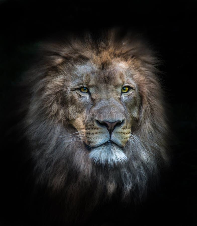 Портрет мужского льва стоковое фото rf