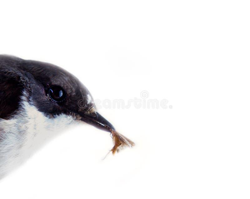 Портрет мужской пестрой мухоловки (hypoleuca Ficedula) стоковая фотография rf