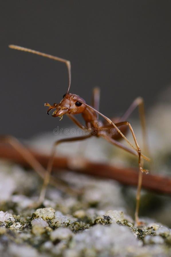 Портрет муравья стоковая фотография rf