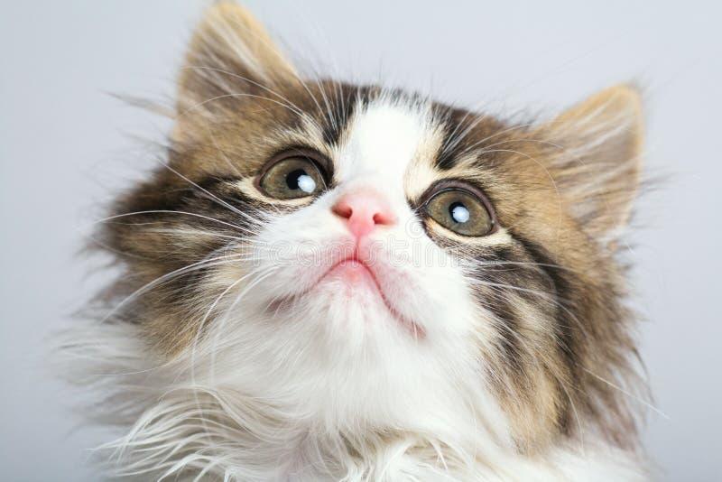 Портрет намордника малого черно-белого котенка смотря вверх стоковая фотография rf
