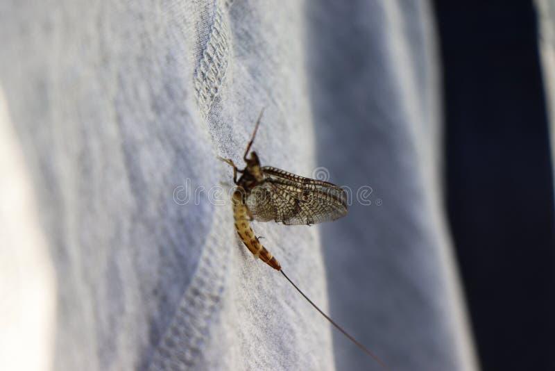 Портрет насекомого подёнки - рыбной ловли мухы стоковые изображения rf