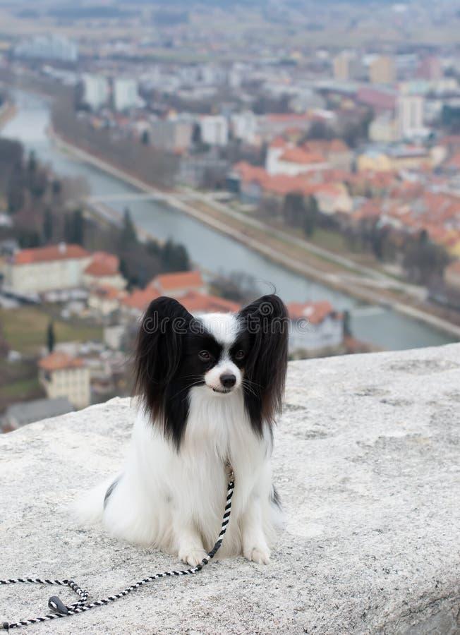 Портрет небольшой собаки Papillon на открытом воздухе стоковое фото