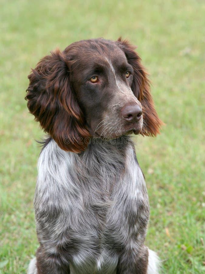 Портрет немецкой собаки Spaniel стоковая фотография