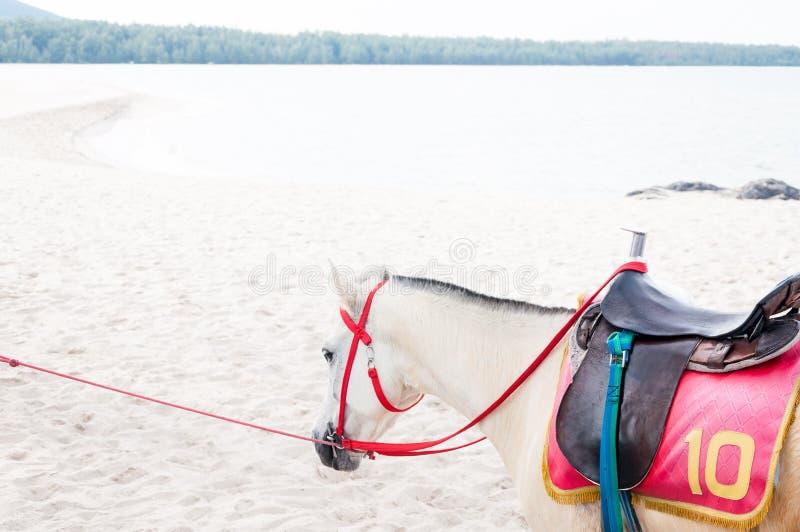 Портрет новичка лошади красивого аравийского белого на предпосылке моря стоковые изображения