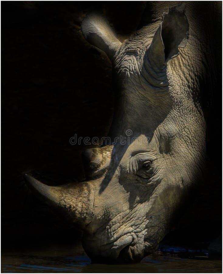 Портрет носорога гася его жажду стоковое фото
