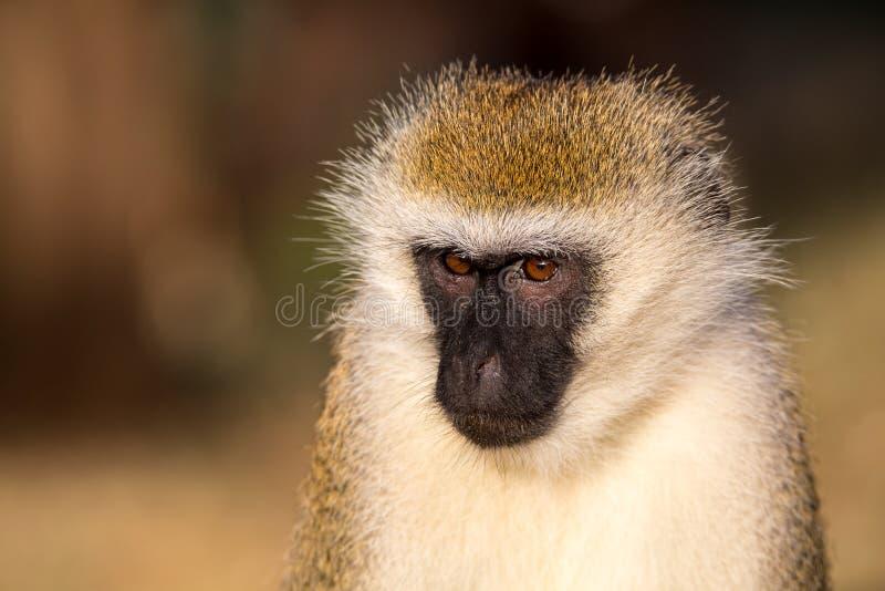 Портрет обезьяны в саванне Кении стоковое фото rf