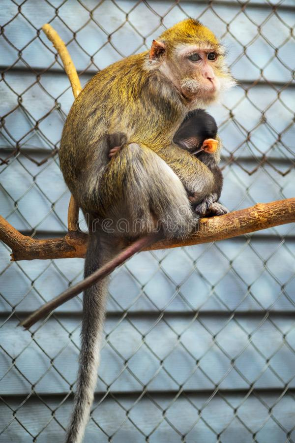 Портрет обезьяны матери кормить ее младенца стоковая фотография rf