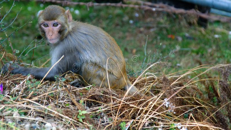 Портрет обезьяны резуса стоковые фотографии rf