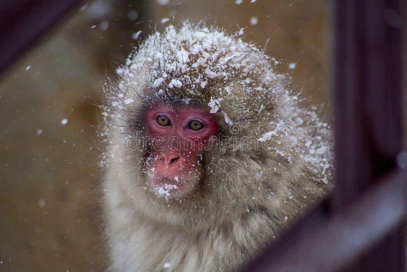 Портрет обезьяны снега в шторме снега стоковое фото rf
