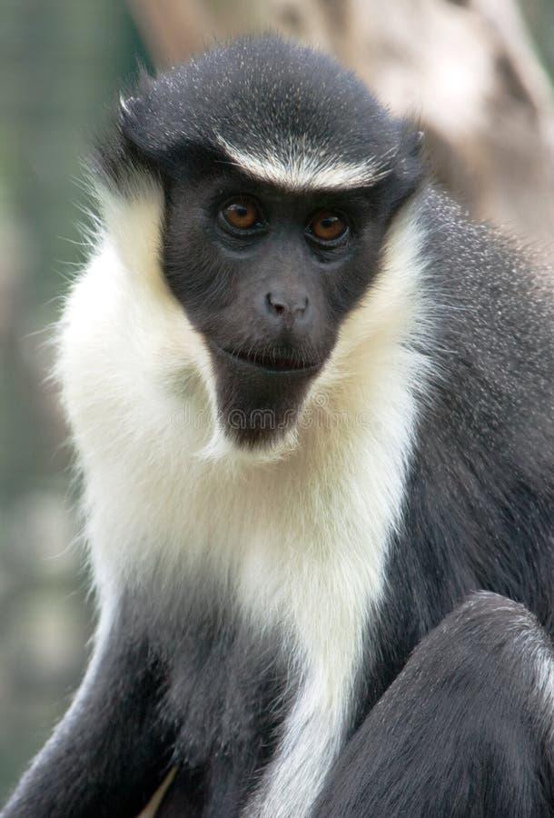 портрет обезьяны diana стоковая фотография rf