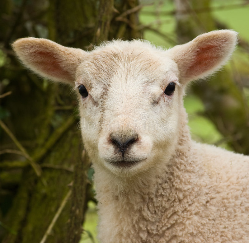 портрет овечки стоковые фото