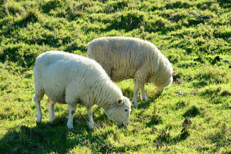 Портрет овцы вскоре после стрижки Свободно-ряд обрабатывая землю, устойчивый обрабатывать землю стоковые изображения