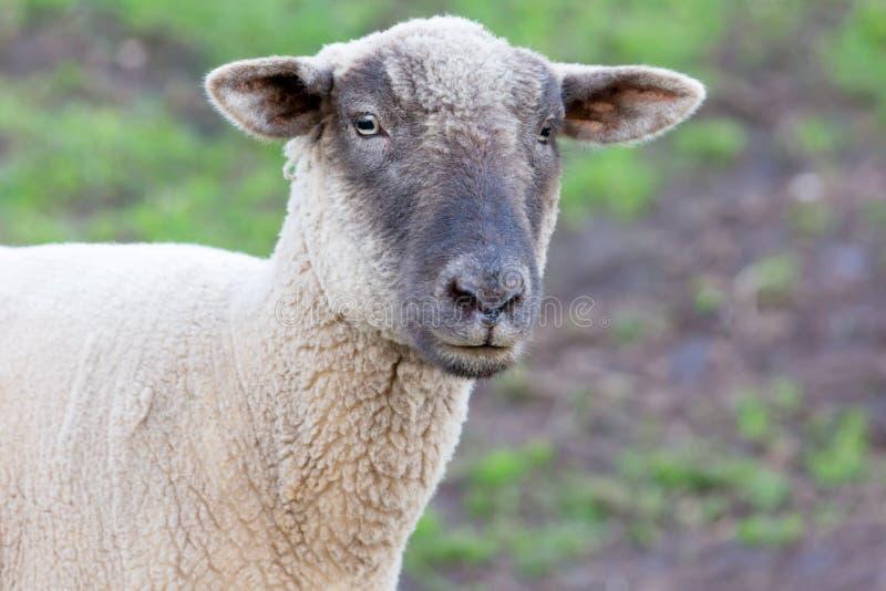 Портрет овцы в поле стоковое изображение