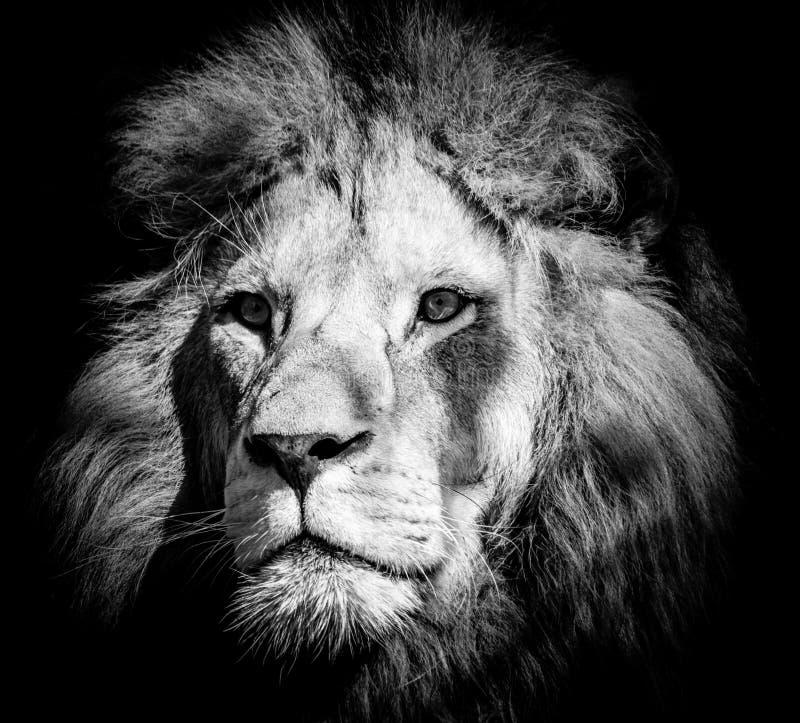 Портрет одичалого величественного мужского льва стоковые фотографии rf