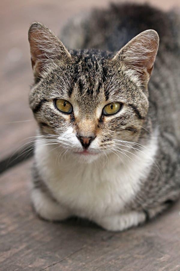 Портрет домашней кошки стоковая фотография rf