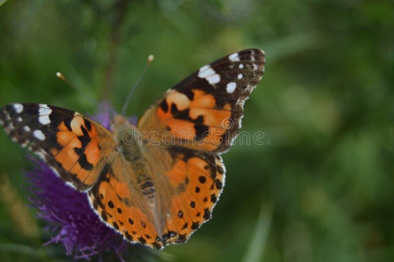 Портрет оранжевой и черной бабочки на пурпурном цветке в горах Галиции Загородка долин Сосновые леса Луга и стоковая фотография rf