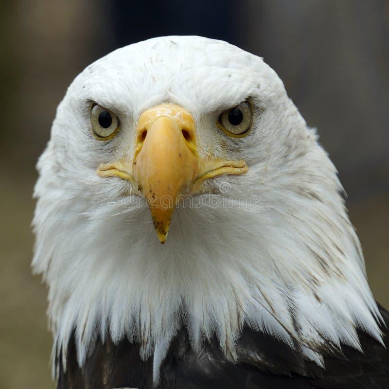 Портрет орла стоковые изображения