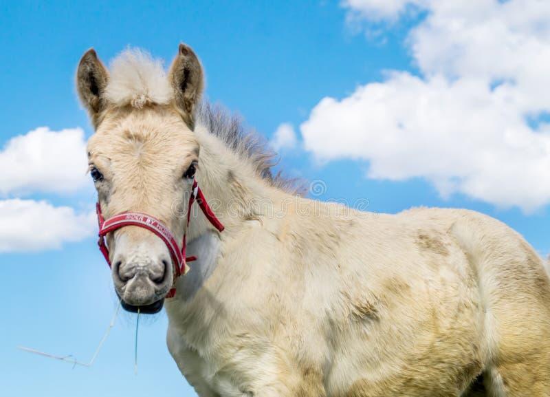 Портрет осленка лошади фьорда стоковая фотография