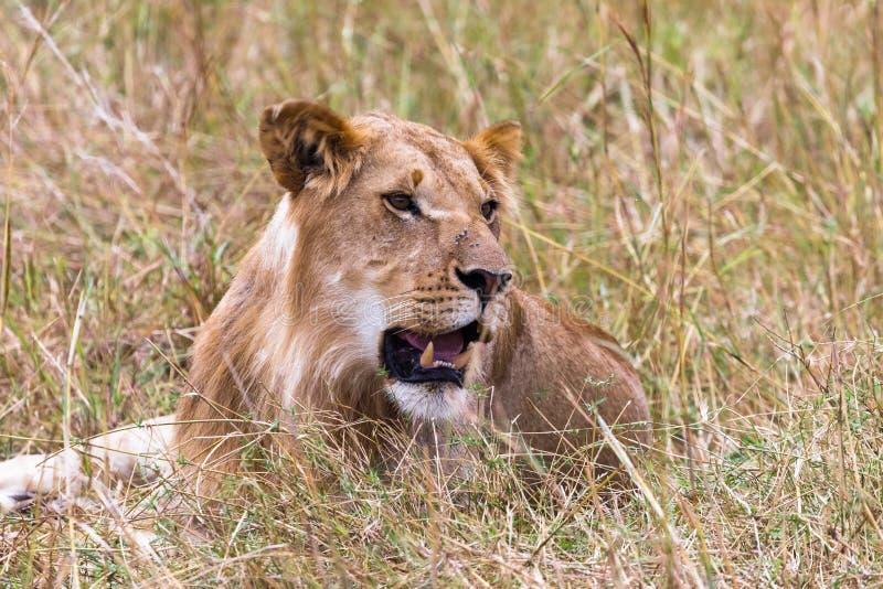 Портрет отдыхая молодого льва Кения, Африка стоковые изображения rf