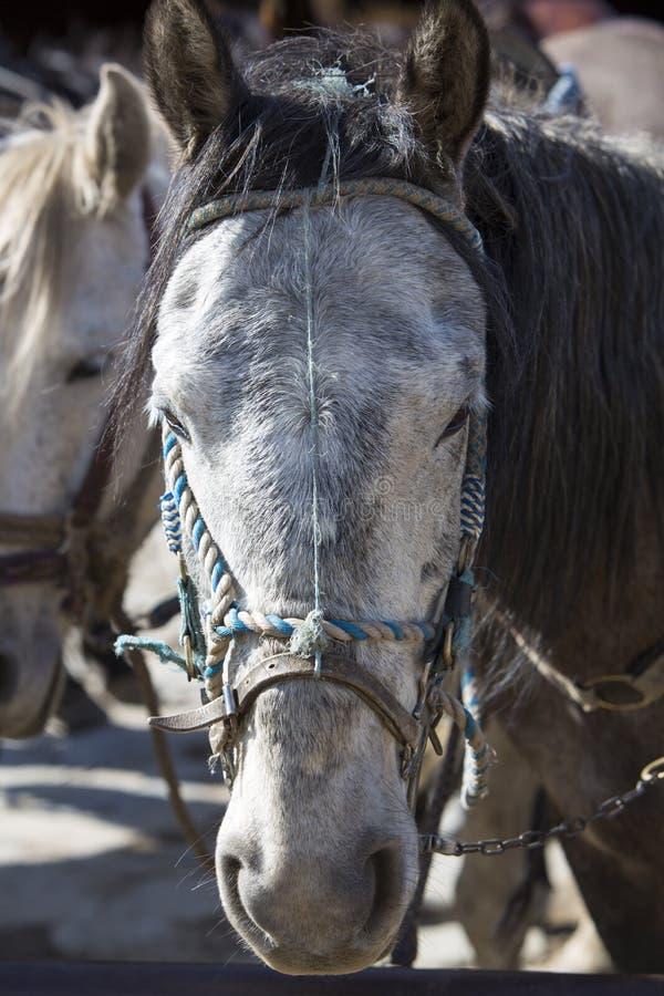 Портрет отечественной белой лошади Мерида, Венесуэла стоковые изображения