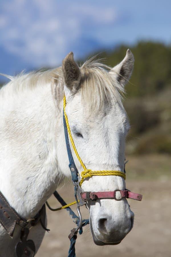 Портрет отечественной белой лошади Мерида, Венесуэла стоковое фото rf