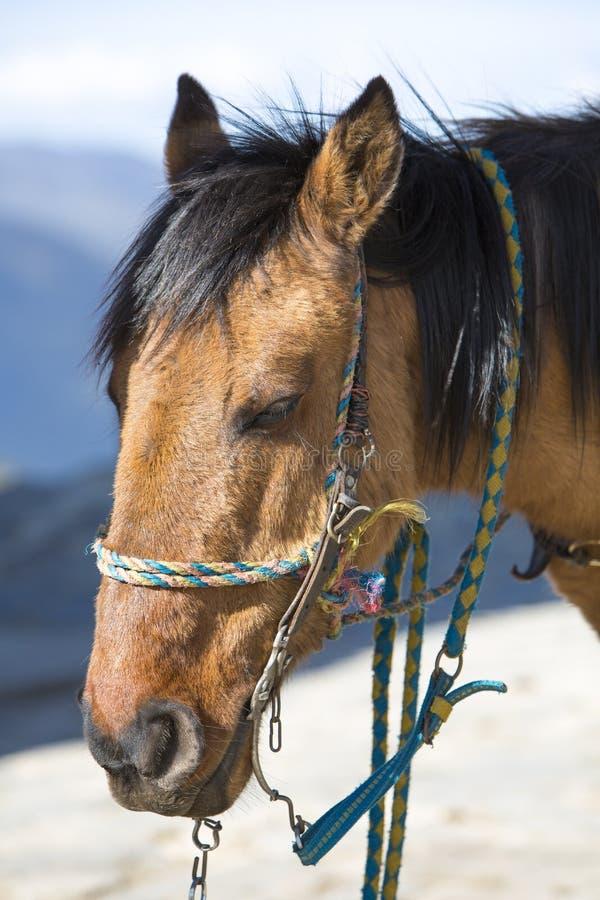 Портрет отечественной лошади каштана Мерида, Венесуэла стоковые фото