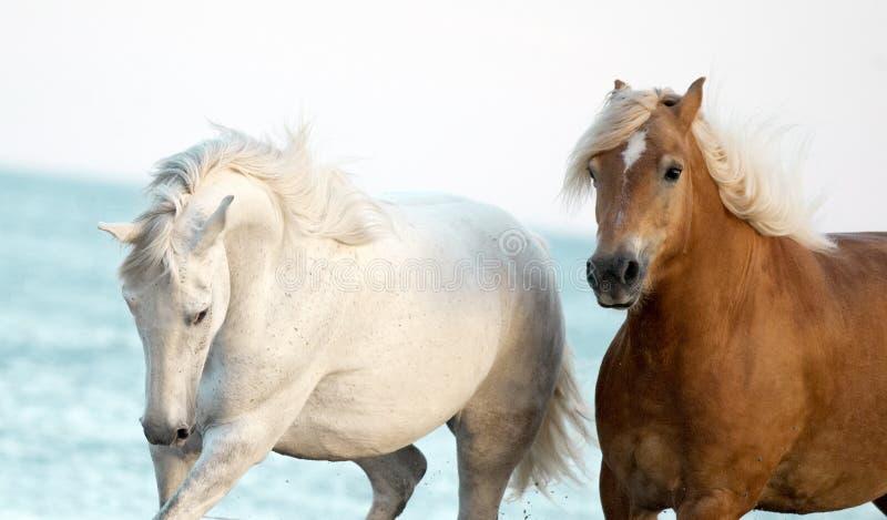 Портрет 2 лошадей с голубым морем позади стоковая фотография rf