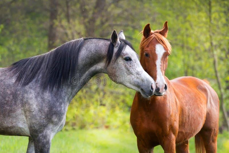 Портрет 2 лошадей стоковые фотографии rf