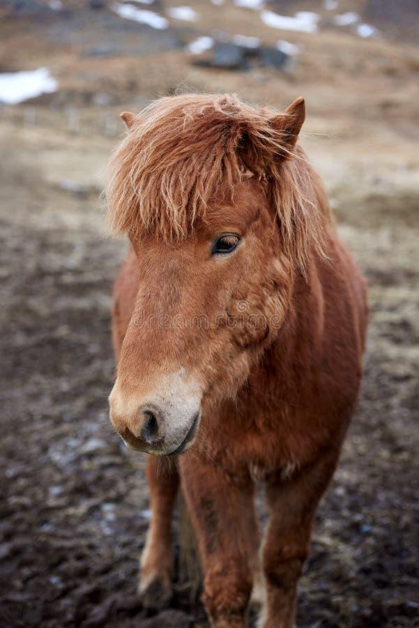 Портрет лошади Исландии стоковая фотография rf
