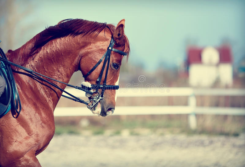 Портрет лошади красного цвета спорт стоковые изображения rf