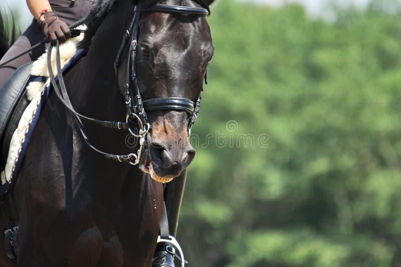 Портрет лошади спорта стоковое изображение rf
