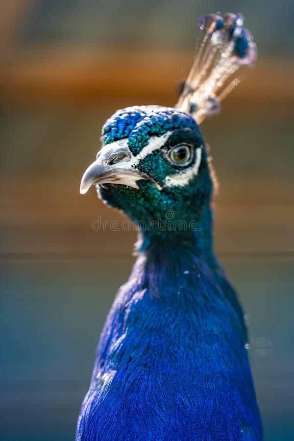 Портрет павлина Голова павлина Красивый павлин демонстрирует свою красоту стоковые фотографии rf