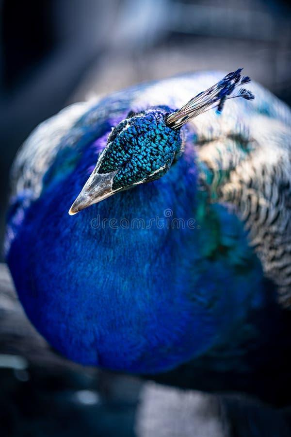 Портрет павлина Голова павлина Красивый павлин демонстрирует свою красоту стоковое изображение