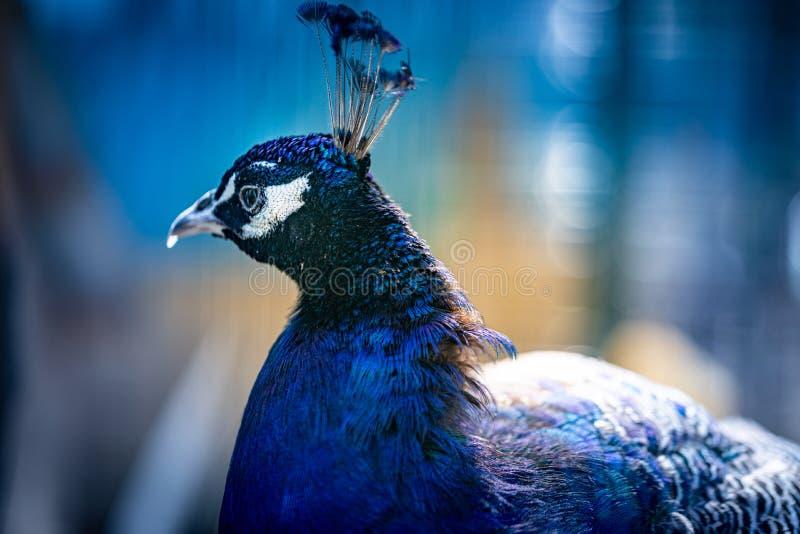 Портрет павлина Голова павлина Красивый павлин демонстрирует свою красоту стоковое фото rf