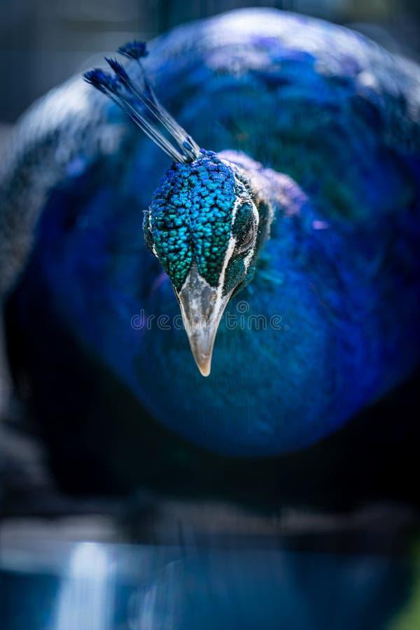 Портрет павлина Голова павлина Красивый павлин демонстрирует свою красоту стоковое изображение rf